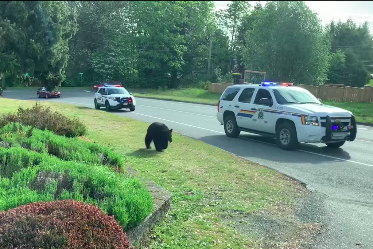 Ladysmith RCMP safely escorted the black bear to the woods near Ladysmith Cemetary. (Town of Ladysmith/Facebook photo)